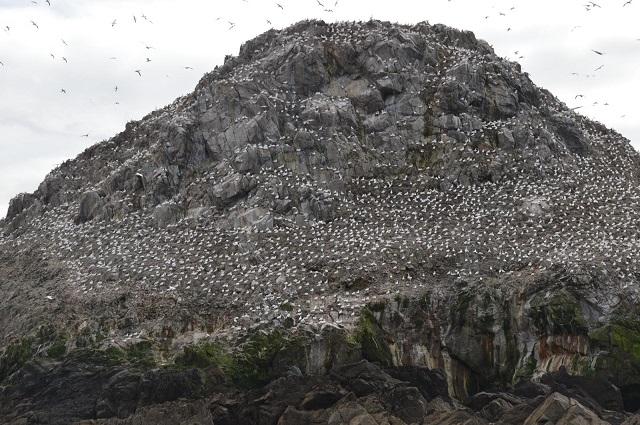 L'Ile aux oiseaux Les Fous de Bassan